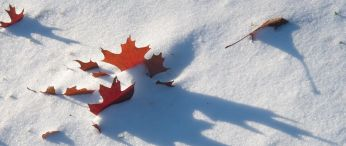 red leaf in snow